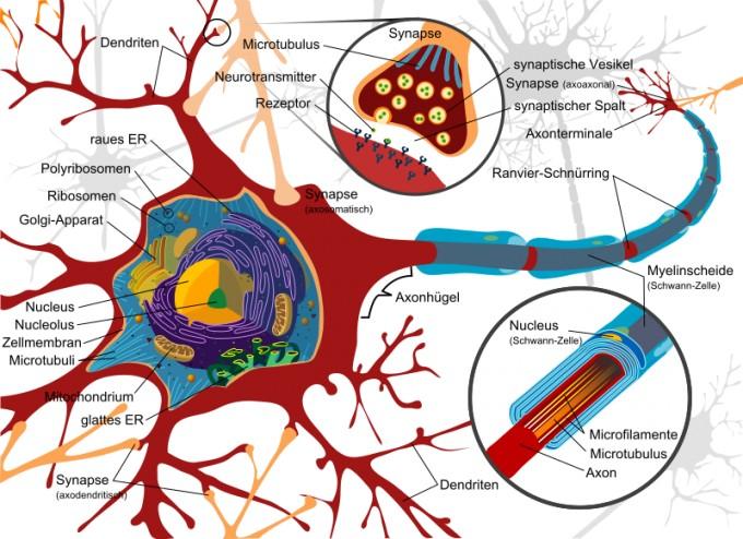 800px-Complete_neuron_cell_diagram_de.svg.png